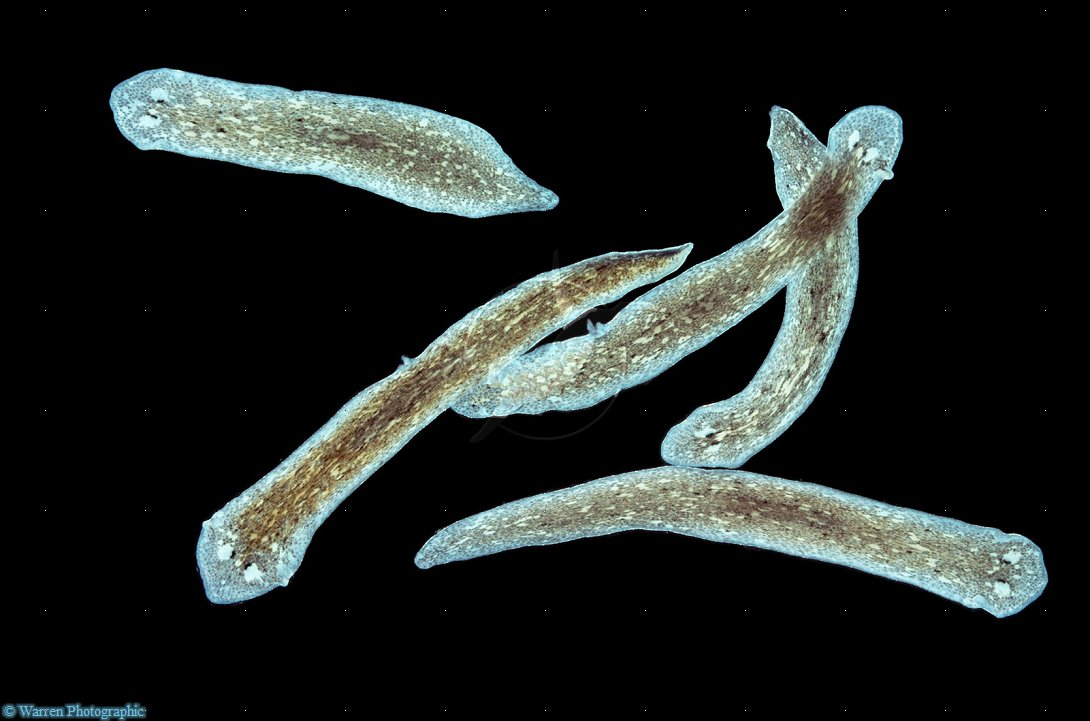 Flatworms And Cnidarians Platyhelminth: ...
